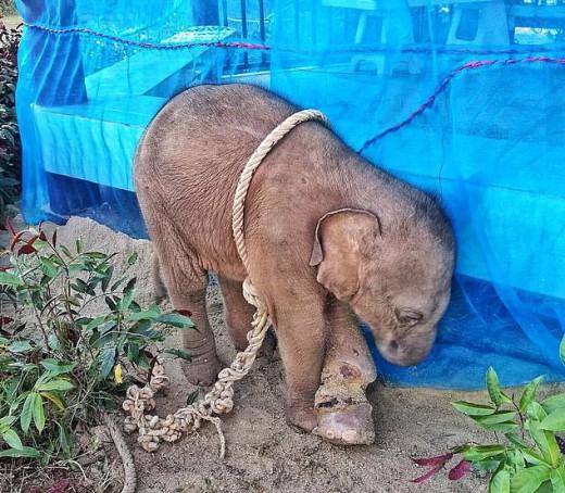 Κυνηγός έδεσε κι εγκατέλειψε μωρό ελέφαντα - Πέθανε από φρικτές πληγές