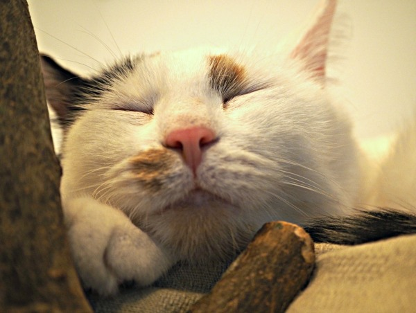 sleeping cat close-up