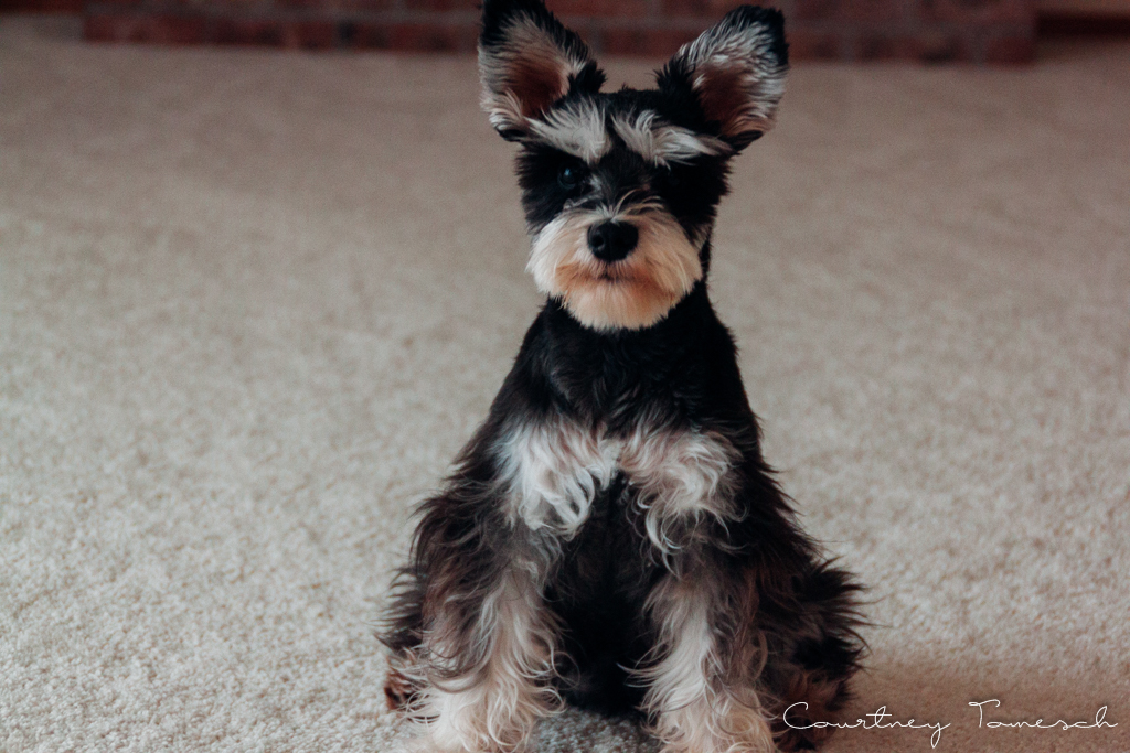 Courtney Tomesch Mini Schnauzer