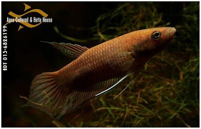 Ikan Cupang Liar