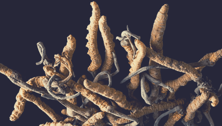 cordyceps-sinesis
