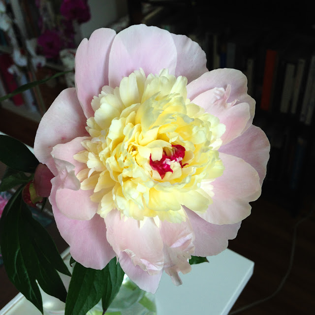 peony flower, pink peony, Anne Butera, My Giant Strawberry