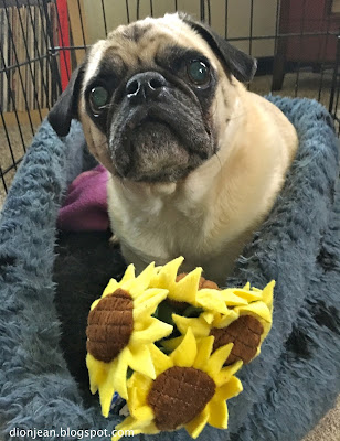 Liam the pug with his flower toy