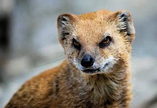 صور النمس , معلومات عن حيوان النمس مع الصور
