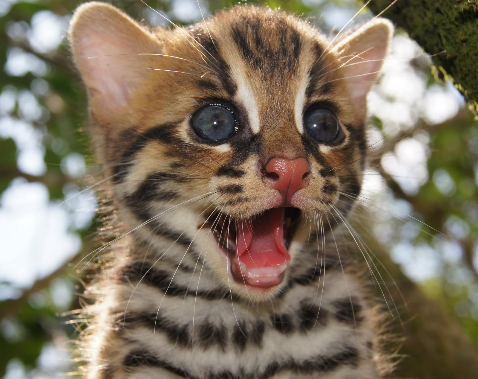 Kucing Hutan Anak Garfield Anak Kucing Hutan Papasemar