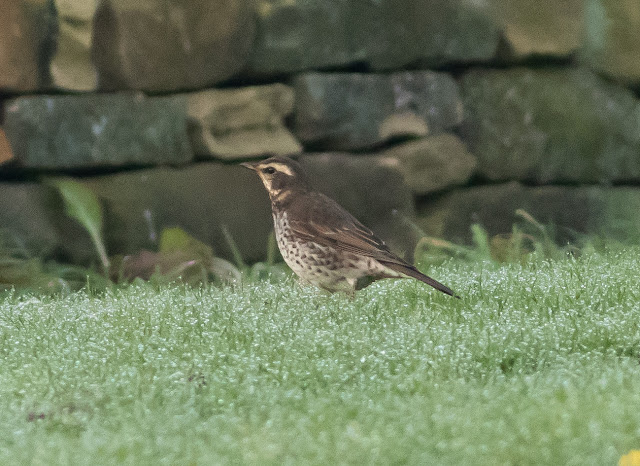 Dusky Thrush, Beeley, Derbyshire
