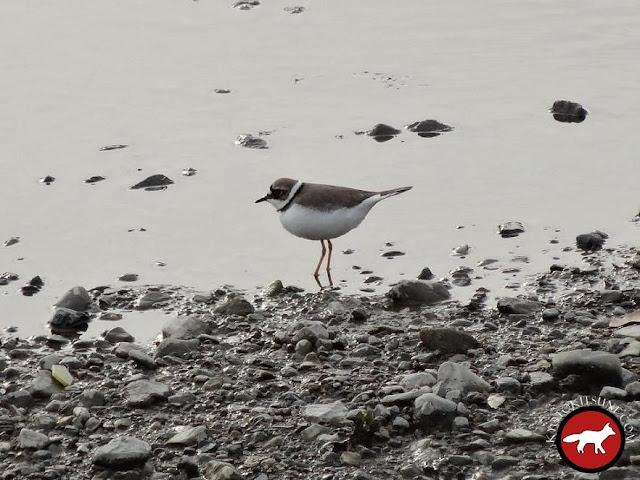 oiseau au bord de la rivière Kamo à Kyoto