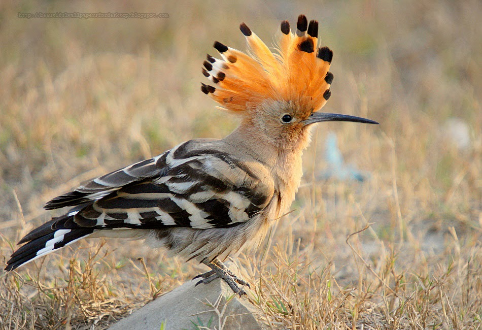 http://beautifulwallpapersfordesktop.blogspot.com/2014/01/the-hoopoe-wallpapers-hd.html