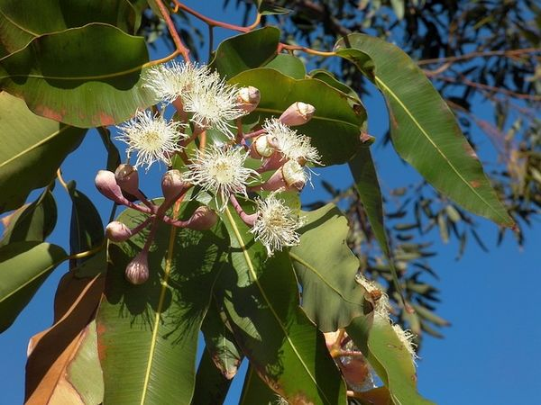 Eucalyptus globulus : utilisation huile essentielle