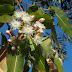 Eucalyptus globulus : Propriétés, utilisation huile essentielle