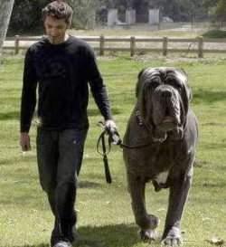Cute Amp Cool Pets 4u Biggest Dog In The World Hercules