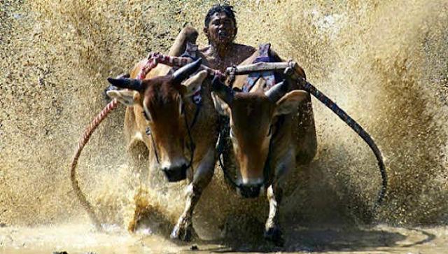 Tradisi Karapan Sapi Dari Madura