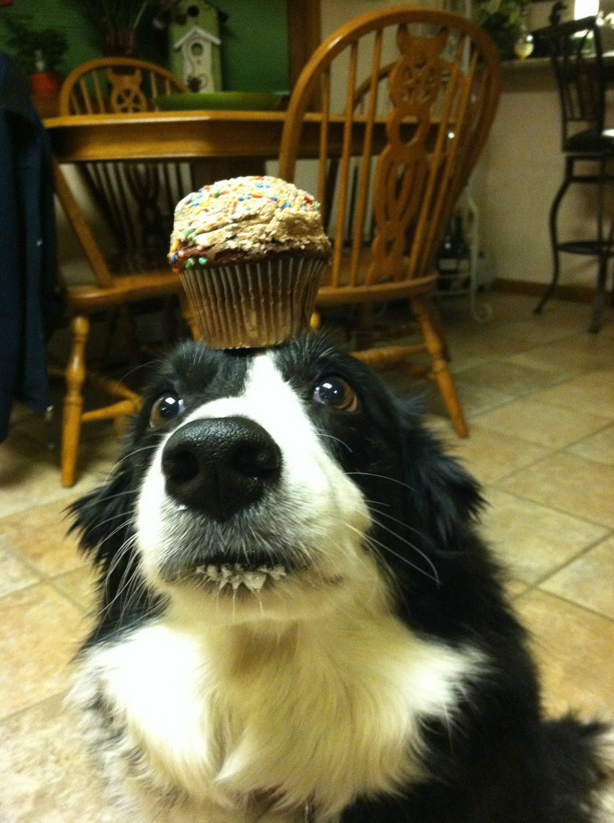 Zelda The Border Collie Balancing Things On Her Head 13
