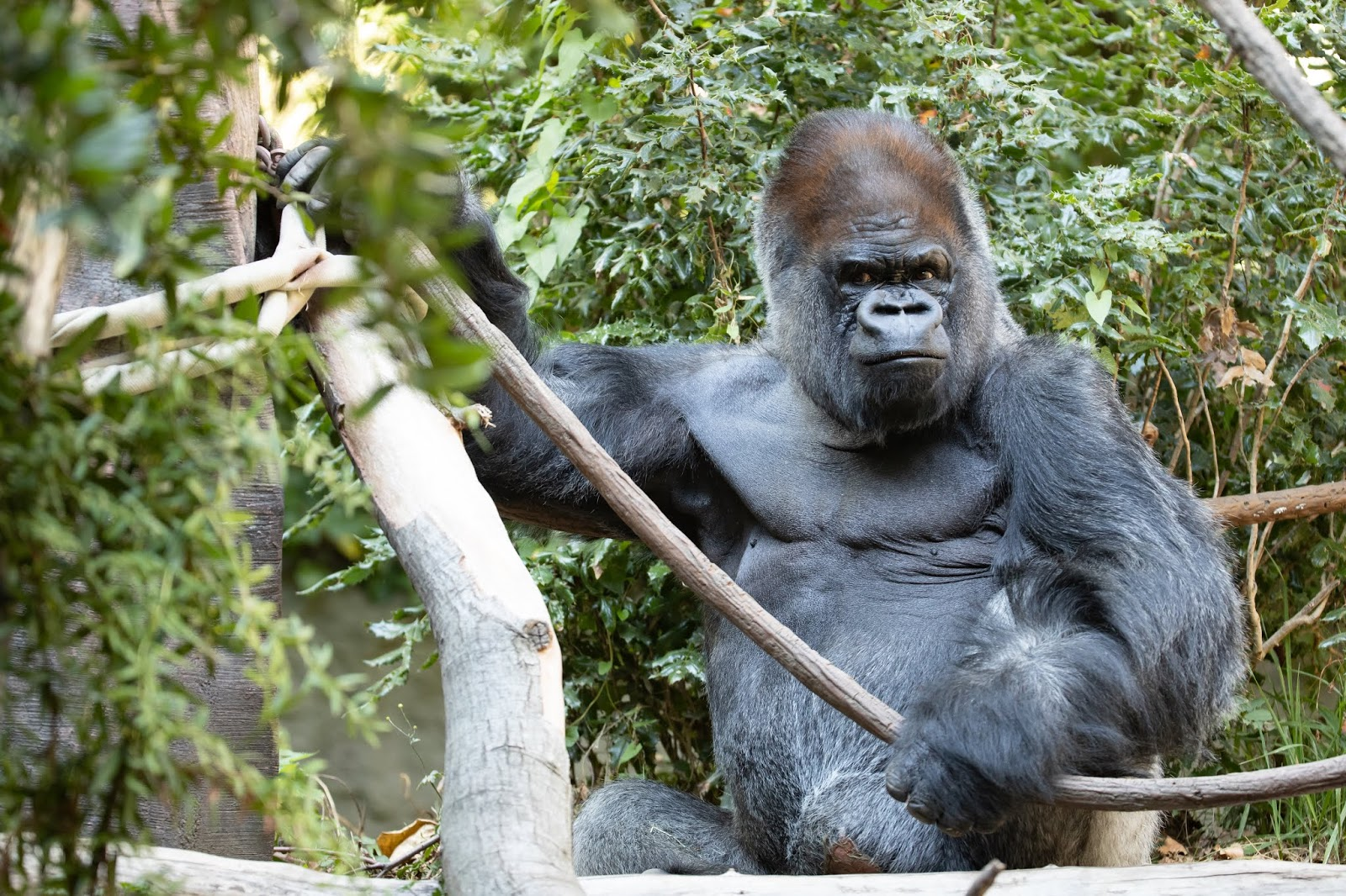 Silverback Gorilla Vip Is Back After Nearly A Year Of