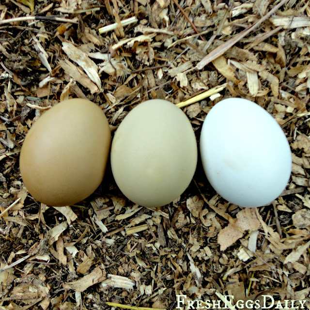 ameraucana chicken color chart