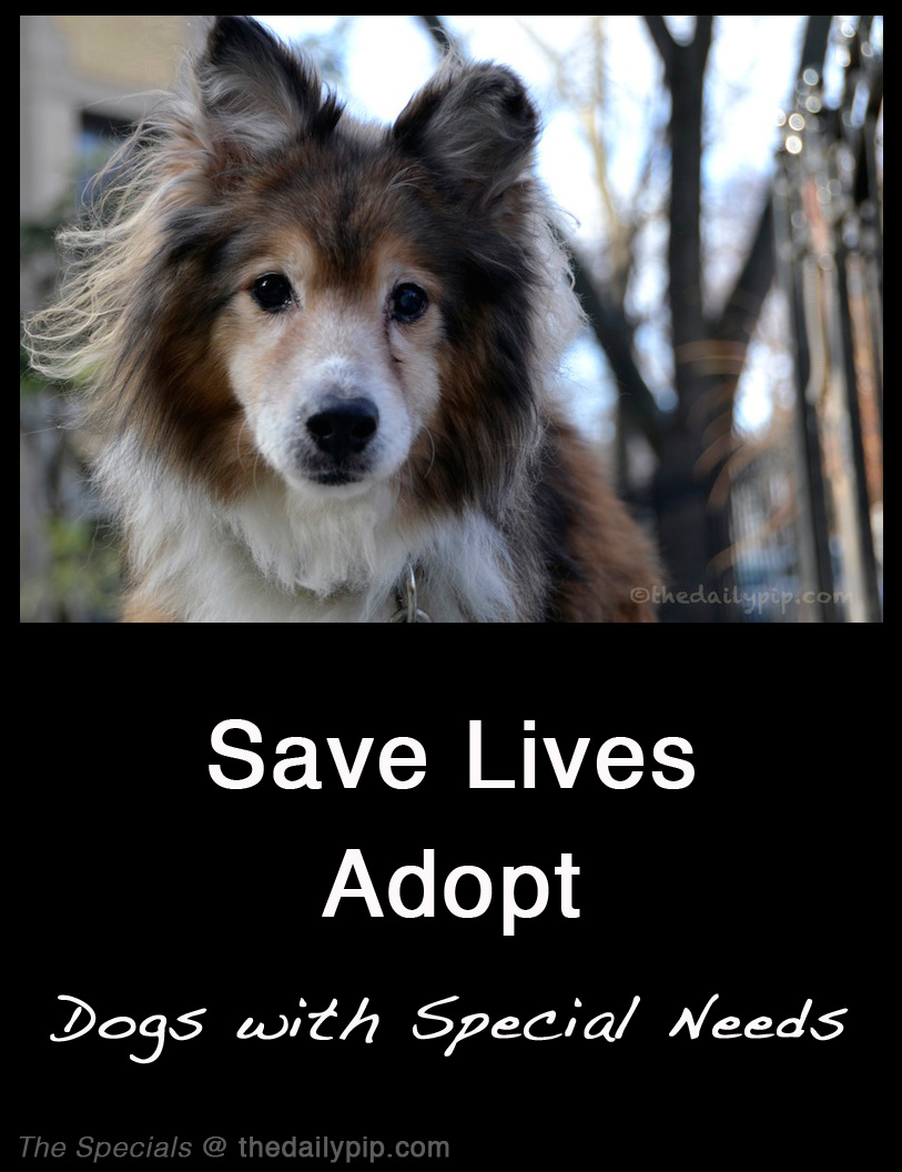Lucky, formerly abused and abandoned sheltie, gets gets rescued and adopted