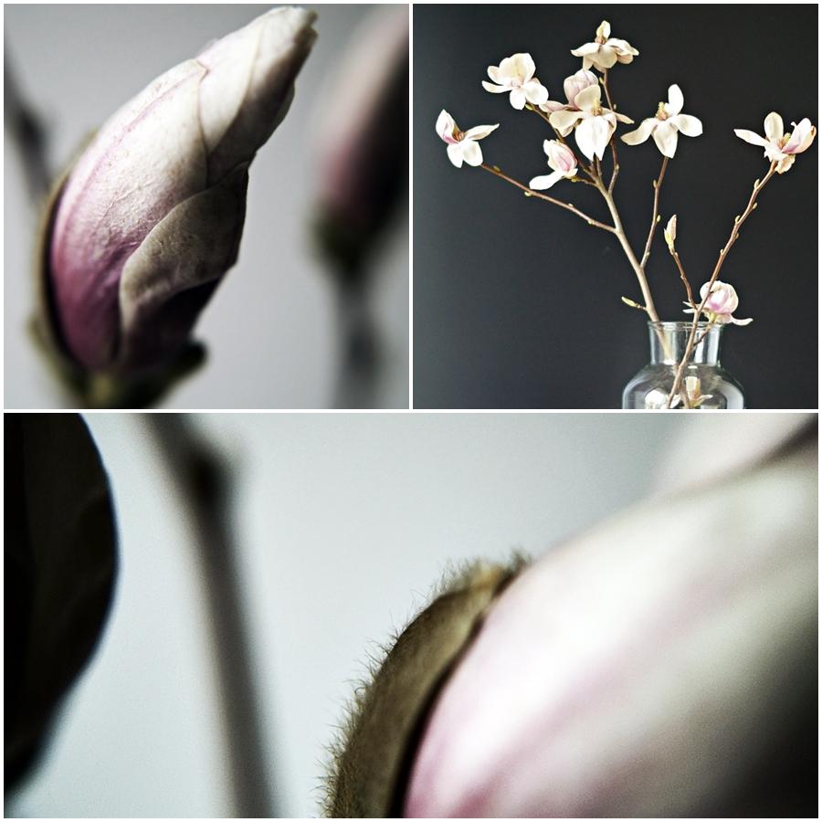 Magnolie als Makroaufnahme und als blühender Zweig