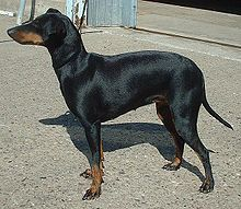 Manchester Terrier toy dog neck, topline and body
