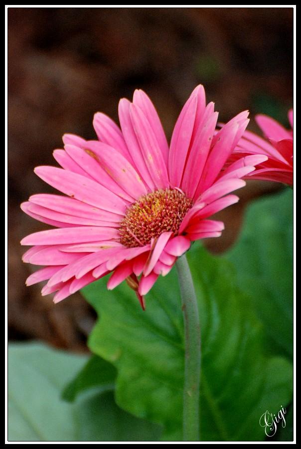 Cajun Gardening Gerber Daisy