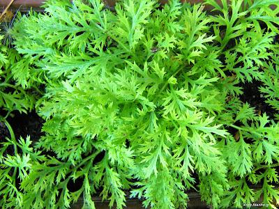 Πύρεθρο: σπορά φύτεμα καλλιέργεια
