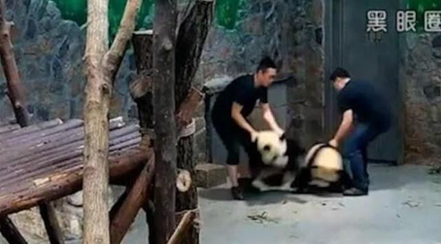 Jadi Viral, Video Penganiayaan Dua Panda Lucu Ini Bikin Geram Netizen