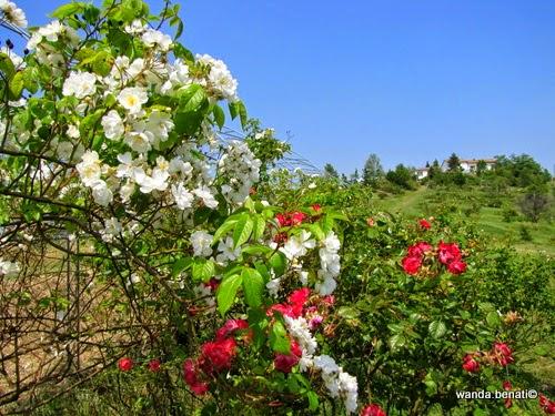 In provincia di Modena, a Serramazzoni, il Museo Giardino della Rosa Antica