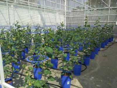 Sentral Hidroponik Melon Hidroponik Skala Industri Kecil
