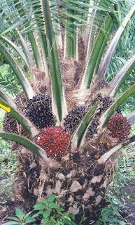 Resultado de imagen para palma espinosa de corozo