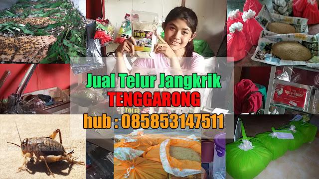 Jual Telur Jangkrik Tenggarong Hubungi 085853147511