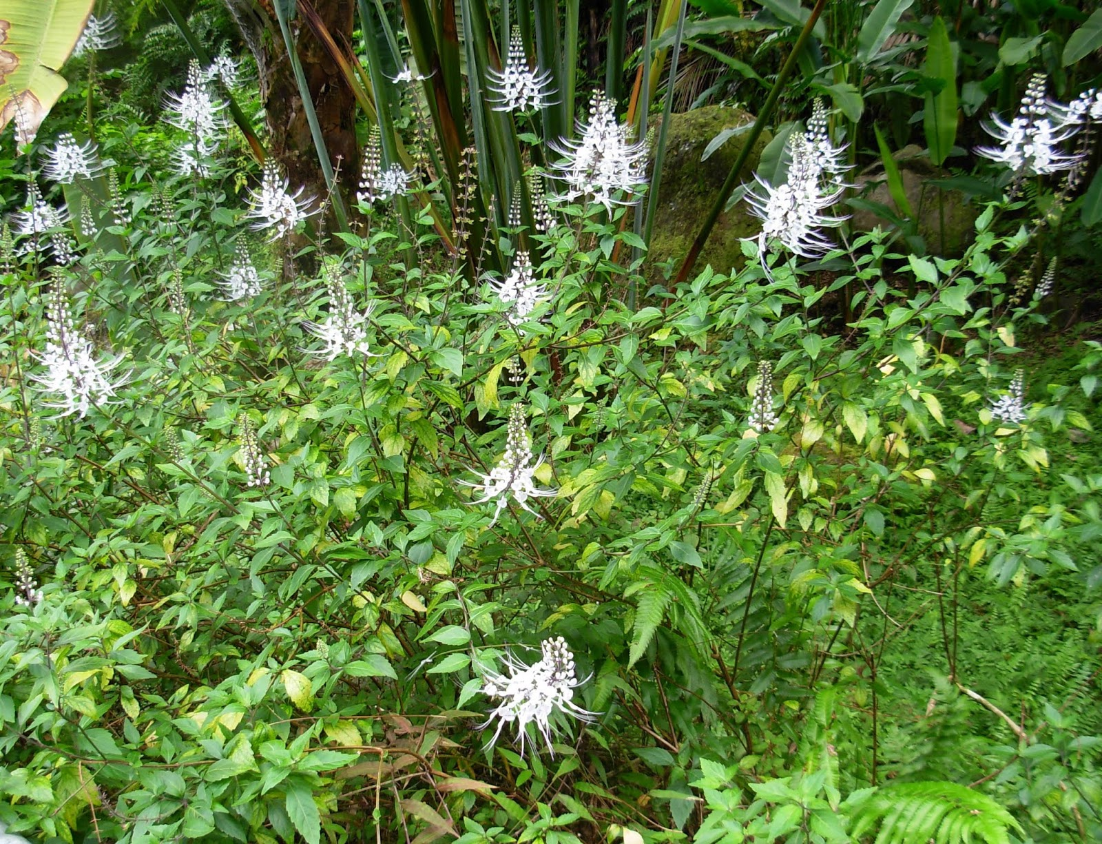 Benefits Of Cat Whiskers Plants
