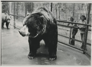 El gigantesco oso Kodiak Clyde