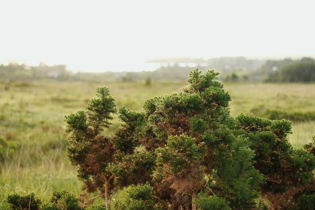 Connemara Gorse landscape