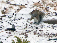 small gray squirrel