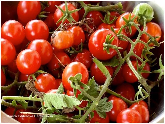 Cosecha de tomate cherry - Chacra Educativa Santa Lucía
