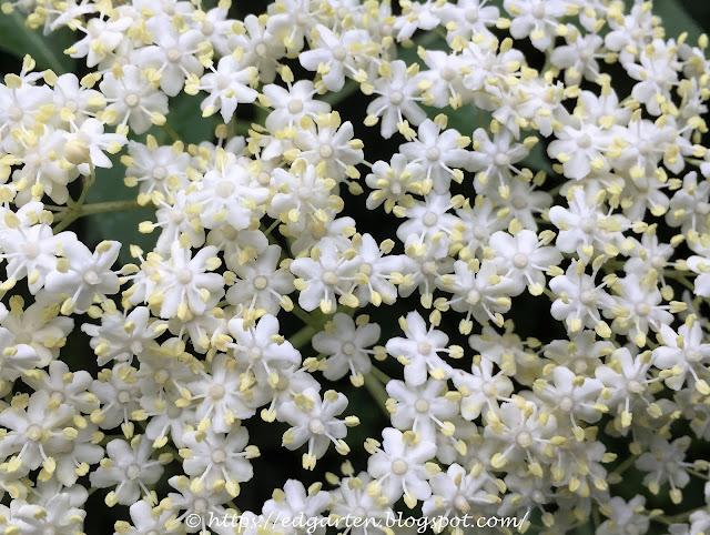 Holunderblüten