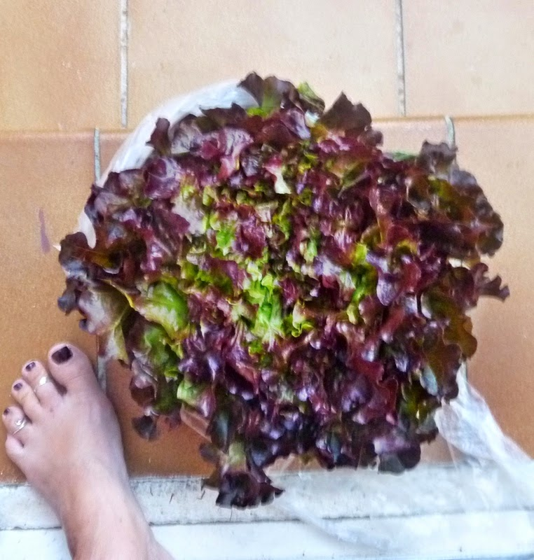 huge-lettuce