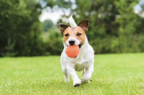 Dog running on grass with ball in mouth