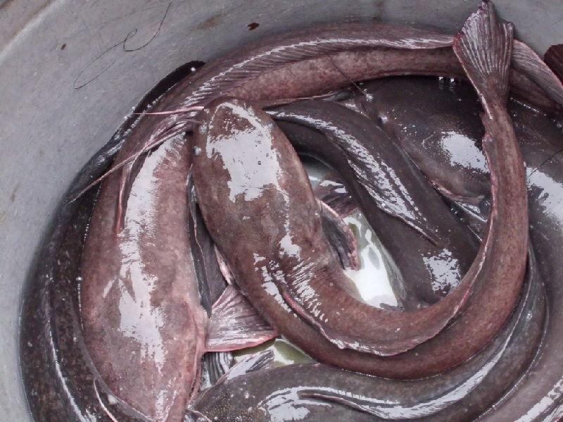 makalah pembenihan ikan lele