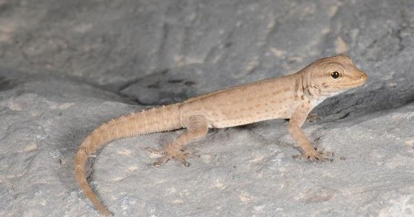 14 Oculta Subespecie De Oropéndola Geco DiferentesLa Una Especies rWQCBexod
