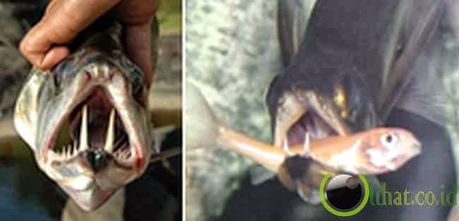 Ikan Vampir (Payara)