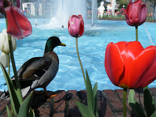 duck poses near fountain at Dollywood theme park