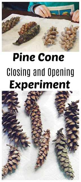 Opening and Closing Pine Cones: Simple Science Experiment