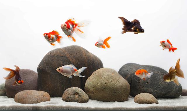 Dunia Ikan Hias - Tips Merawat Ikan Hias Mas Koki Dalam Akuarium