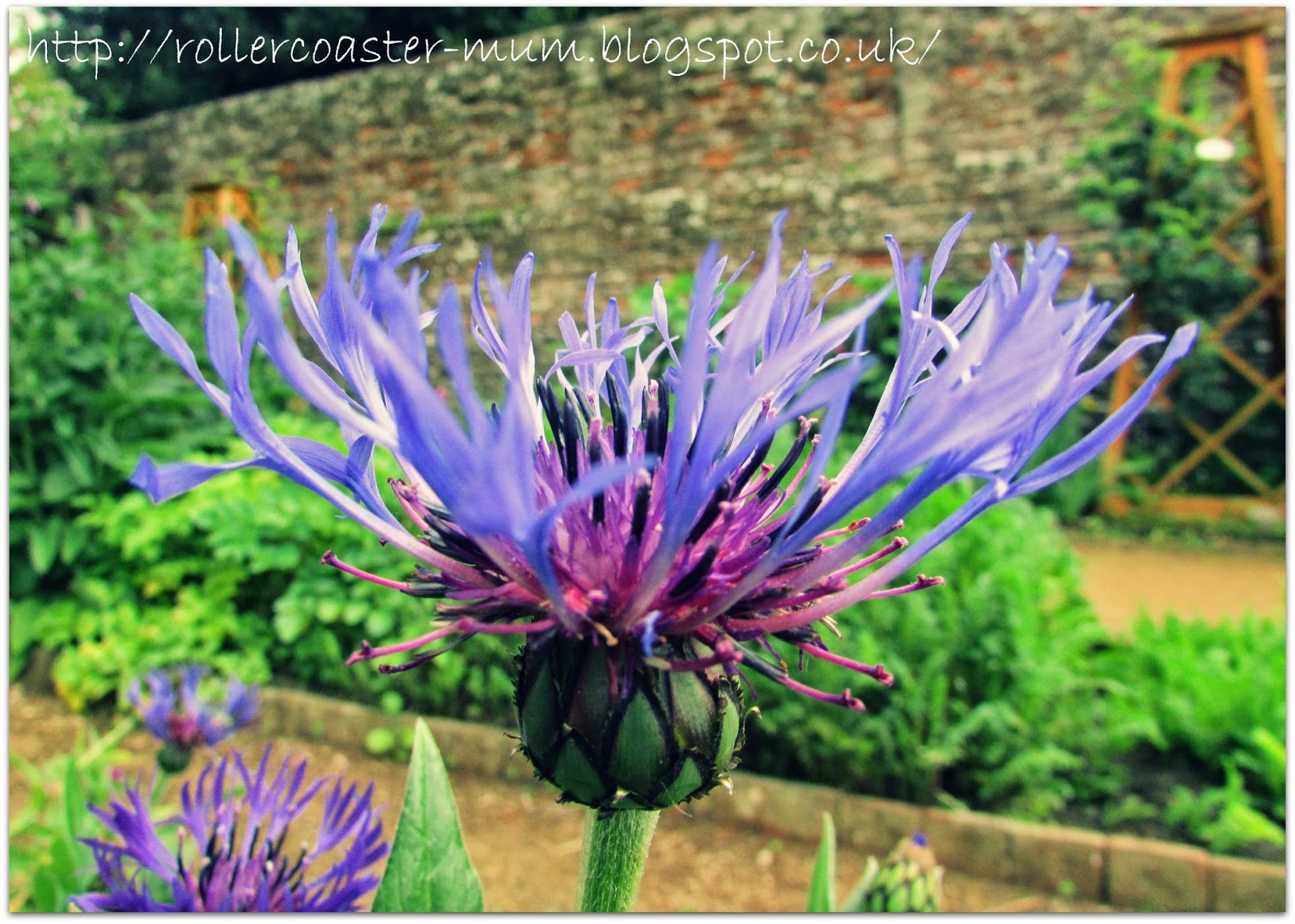 pretty blue and purple flower,  Petersfield Physic Garden