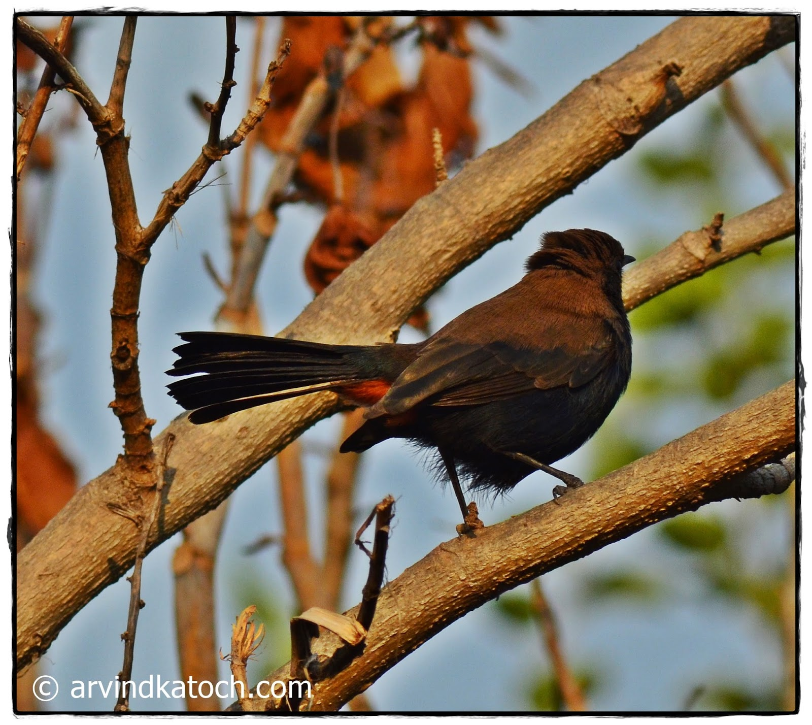 Indian Robin, Male, Back