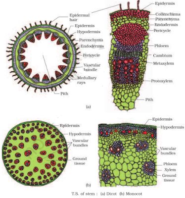 TS of stem dicot and Monocot