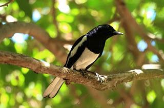 biar cepat gacor, cara merawat burung, kacer poci untuk pemula,