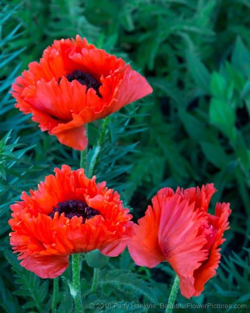 Poppy flower best beautiful images gardening poppy flower meaning mightylinksfo