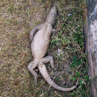 http://wildlifearticles.co.uk/plight-of-innocent-monitor-lizards/