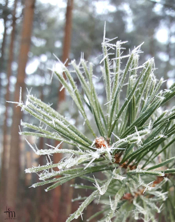 lumikaktukset havupuussa